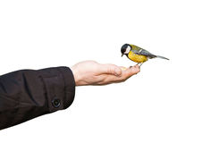 Bird. Little bird sitting on hand, isolated Royalty Free Stock Images