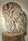 Owl. Photo of an owl with small depth of sharpness Royalty Free Stock Image