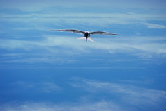 Bird. A bird with arched wings flies high in the clouds with the sunlight on his wings royalty free stock image
