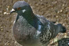 Bird 2. The bird. the pigeon in the park Stock Photography