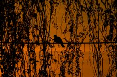 Bird. At early evening. Dove royalty free stock image