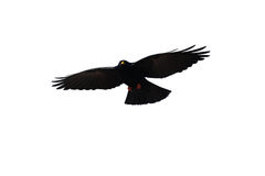 Bird. A black crow on white background free Stock Images