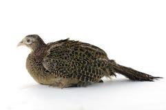 Bird. Isolated tropical bird on white Royalty Free Stock Photo
