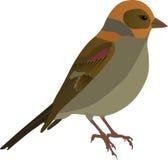 Bird. Vector illustration of isolated little bird Royalty Free Stock Image