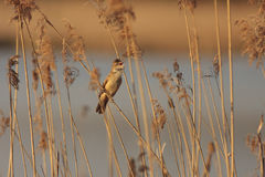 Bird. Great reed warbler - Acrocephalus arundinaceus royalty free stock photo