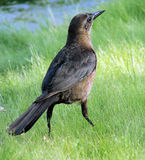 Bird. Closeup of bird walking on green grass royalty free stock photos