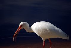Bird 3 Royalty Free Stock Images