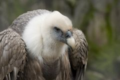 Bird. Close up vulture Stock Photography