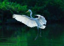 Bird. Egrets flight in the water Stock Photo