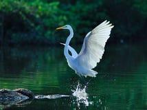 Bird. Egrets flight in the water Stock Photos