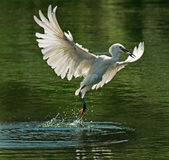 Bird. Egrets flight in the water Royalty Free Stock Photography