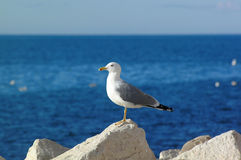 Bird. Gull Standing by the sea Stock Images