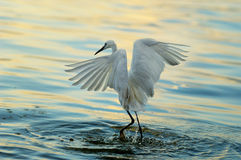 Bird. A flight of egrets play in sunset Royalty Free Stock Photography