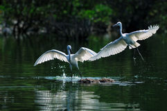 Bird. Two flight of egrets play in wetland Stock Photo
