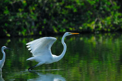 Bird. A flight of egrets play in wetland Stock Image