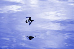 Bird. Flying over the water in blue Stock Images