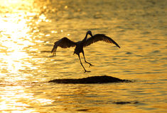 Bird. Heron  playing in the sunset Stock Image