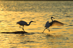 Bird. Heron  playing in the sunset Royalty Free Stock Photos