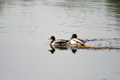 Bird. Wild ducks near a small lake with pure water stock photography