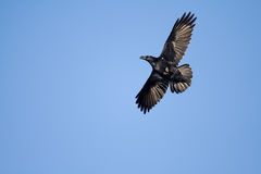 Bird. Black crow in sweeping sunny afternoon Stock Image