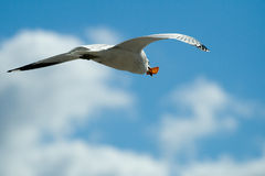 Seagull bird in flight Stock Images