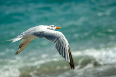 Seagull bird in flight. With sea in background Royalty Free Stock Photos