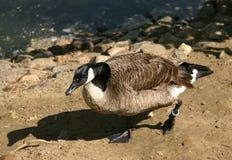 Bird. Water bird Royalty Free Stock Photography