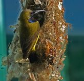 Bird. Sunbird and nest in the parks royalty free stock photos