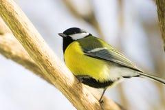 Bird. Yellow bird on a tree, sunny day, spring Royalty Free Stock Photography