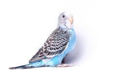 Bird. Blue, black and white bird on blank background Stock Photo