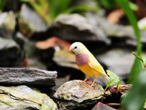 Bird: Adult Female Gouldian Finch Royalty Free Stock Photography