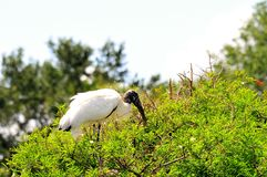 Bird, adult white Wood stork on top of tree Stock Images