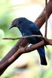 Bird - Aisan Koel Stock Image