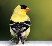 Bird - American Goldfinch Stock Image