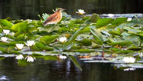 Bird And Water Lilies Royalty Free Stock Photography