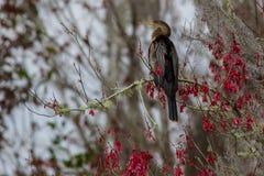 Bird Anhinga in America stock photos
