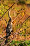 Bird: Anhinga at Sunset Stock Photography