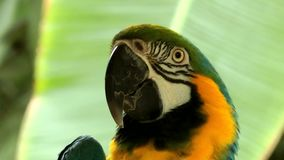 Bird Animal Colorful Parrot. In Nature video stock footage