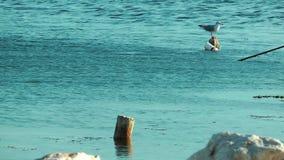 Bird Animal Seagull in Sea. Video stock footage