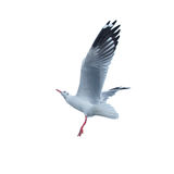 Bird; animal; seagull; white; background; avian; flying; sky Royalty Free Stock Photos
