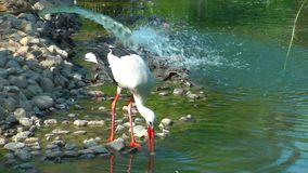 Bird Animal Stork and Home. In Nature stock footage