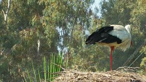 Bird Animal Stork and Home. In Nature stock video