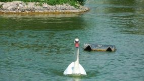 Bird Animal Swan in Nature stock video footage