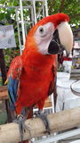 Bird. Animals birds red beautiful royalty free stock photo