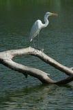 Bird aquatic. Aquatic white bird on lake Royalty Free Stock Image