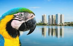 Bird Arara Caninde macaw and the lake of a urban park on a bea. Utiful sunny day. The water of the lake with some buildings on the background and nature around royalty free stock image