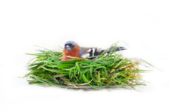 Bird in artificial nest royalty free stock photography