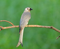 Bird (Ashy drongo) , Thailand Royalty Free Stock Images