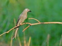 Bird (Ashy drongo) , Thailand Stock Image
