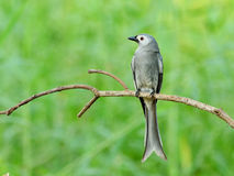 Bird (Ashy drongo) , Thailand Stock Photo